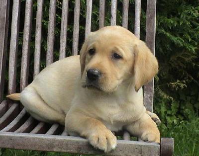 Labrador Retriever Voeding Woefkesranch Putte, Belgie