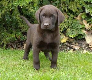 zwarte labrador pup te koop